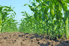 Young Green Corn Stock Images