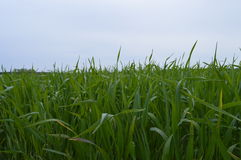 Young, green corn. Boleslawiec, Poland - May: Young, green corn growing in a field - wheat royalty free stock images