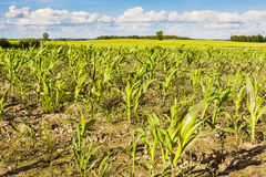 Young green corn field. Royalty Free Stock Images