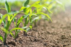 Young green corn growing on the field. Young Corn Plants. Agriculture royalty free stock image