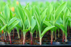 Young green corn, maize, sweet corn seedling. In pod for experiment Stock Image