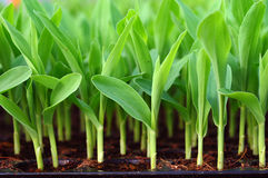 Young green corn, maize, sweet corn seedling in po. D close up royalty free stock photos