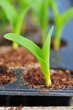Young green corn, maize, sweet corn seedling in pod for experiment. Royalty Free Stock Photo