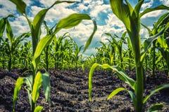 Young green corn plants on farmland - extreme low angle shot stock photo