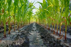 Young green corn plants growing on farm field in rows royalty free stock photo