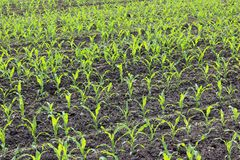 Young Green Corn Seedlings In Spring Stock Photography