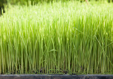 Young green crops Royalty Free Stock Photo