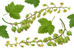Young green currant Royalty Free Stock Photo