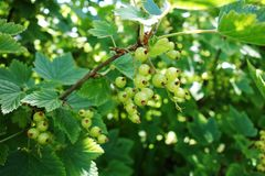 young green currant at summer garden stock photo
