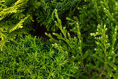 Young green different conifer branches top view close up background. Royalty Free Stock Image