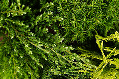 Young green different conifer branches top view  close up background. Stock Photography