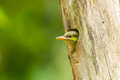 Young Green-eared Barbet Stock Images