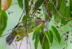Young Green-eared Barbet Stock Photo