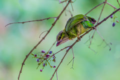 Young Green-eared Barbet (Megalaima faiostricta) Royalty Free Stock Photography