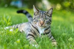 Tabby Cat portrait n green grass on a late spring afternoon. Young green-eyed Mackerel Tabby Cat frolics in the grass on a late spring afternoon.  Stray cat in royalty free stock photos