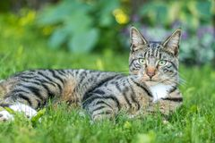 Tabby Cat portrait n green grass on a late spring afternoon. Young green-eyed Mackerel Tabby Cat frolics in the grass on a late spring afternoon.  Stray cat in royalty free stock images