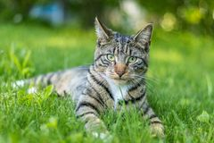 Tabby Cat portrait n green grass on a late spring afternoon. Young green-eyed Mackerel Tabby Cat frolics in the grass on a late spring afternoon.  Stray cat in royalty free stock photo