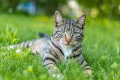 Tabby Cat portrait n green grass on a late spring afternoon. Young green-eyed Mackerel Tabby Cat frolics in the grass on a late spring afternoon.  Stray cat in royalty free stock image