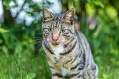 Tabby Cat portrait n green grass on a late spring afternoon. Young green-eyed Mackerel Tabby Cat frolics in the grass on a late spring afternoon.  Stray cat in royalty free stock photography