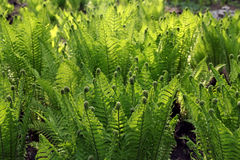 Young green fern Stock Images