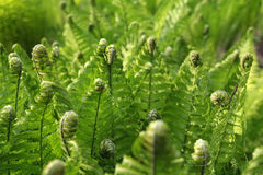 Young green fern Royalty Free Stock Images