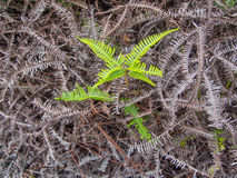 Young green fern Royalty Free Stock Photos