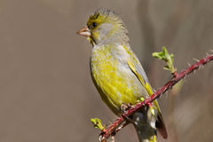 Young green finch Stock Images