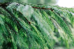 Beautiful fir branch close-up, Christmas background, Transcarpathia royalty free stock photo
