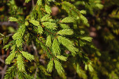 Young Green Fir Tree Branches Stock Image