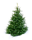 Young green fir tree on snow stock photography