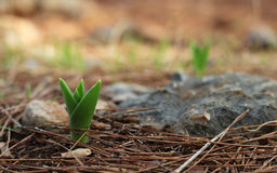 A young green flower sprout in pine forest Stock Photos