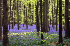 Young green foliage and bluebells Royalty Free Stock Photo