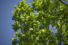 Young green foliage poplar close-up Royalty Free Stock Images