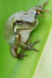 Young green frog. An Australian Green Tree Frog - juvenile - Litoria caerulea - sitting on a long broad green leaf Royalty Free Stock Images