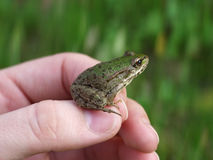 Young green frog Royalty Free Stock Images