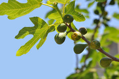 Young green fruits on a fig tree branch Stock Photos