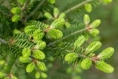 Young spruce branches blossomed in the spring Stock Image