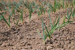 Young green garlic growing in the garden. Spring harvest. Rows in the ground stock image