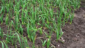 Young green garlic plants in the field stock footage