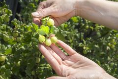 Female hands show young green gooseberry fruits growing on the bush. Young green gooseberry fruits grow on the bush among green healthy leaves . Female hands royalty free stock images