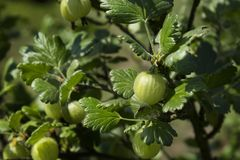 Young green gooseberry fruits grow on the bush among green healthy leaves. Young green gooseberry fruits grow on the bush among green healthy leaves royalty free stock photography