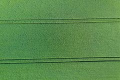 Young green grain top view. Green Wheat. royalty free stock images