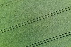 Young green grain top view. Green Wheat. royalty free stock photography