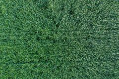 Young green grain top view. Green Wheat. royalty free stock photo