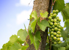 Young green grape bunches in the vineyard Royalty Free Stock Image