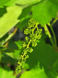 Young green grape cluster. Royalty Free Stock Photo
