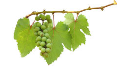 Young green grape fruit Royalty Free Stock Images