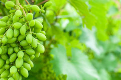 Young green grape Stock Image