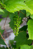 Young green grape on vine stock photos