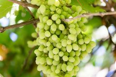 Young green grape on vine . Royalty Free Stock Images